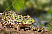 Chiricahua leopard frog.