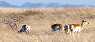 Pronghorn antelope in the Cienega Watershed.