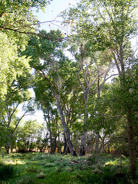 Cottonwood-Willow Riparian Forests